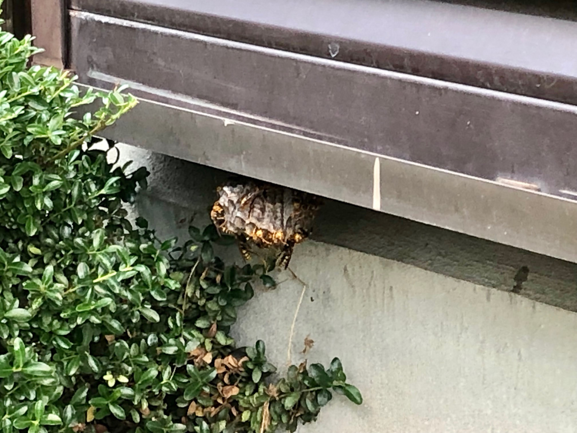 蜂の巣 退治 軒下 梅雨